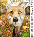 Close up of a red fox in autumn 61298794