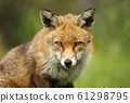 Close up of a cute red fox 61298795
