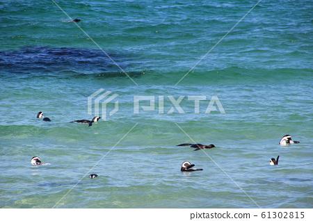 남아공 케이프타운 볼더스비치 옥빛 바다에서 헤엄치며 노는 펭귄떼 61302815