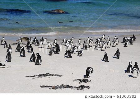 남아공 케이프타운 볼더스비치 청정 해변의 자카스펭귄 무리 61303582