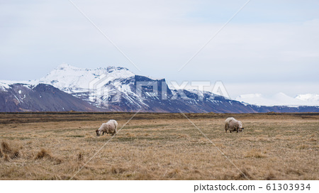 Sheep ram got fur shaved grazing in Iceland 61303934