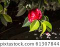 Blossom of red camellia 61307844