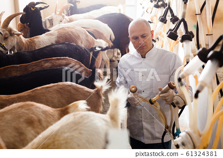 Farm worker in barn with cow milking machines 61324381