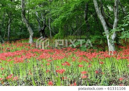꽃무릇,용천사,모악산,함평군,전남,한국 61331106