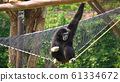 Spider Monkey Adult Lone Playing Play Hanging 61334672
