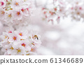 櫻花和蜜蜂 61346689
