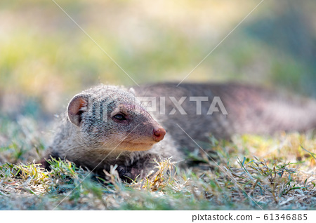 Banded mongoose, Namibia Africa, Safari wildlife 61346885