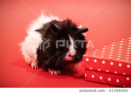 Cute guinea pig next to a red gift box 61386080