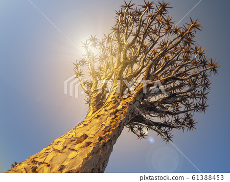 Quivertree aloe tree in Namibia, Africa. in Namibia. 61388453