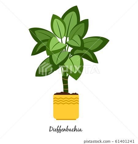 Dieffenbachia plant in pot 61401241