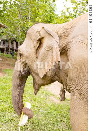 Asian elephant eating banana stalk 61405863
