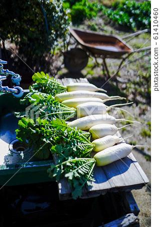 農業和蘿蔔收穫 61410460