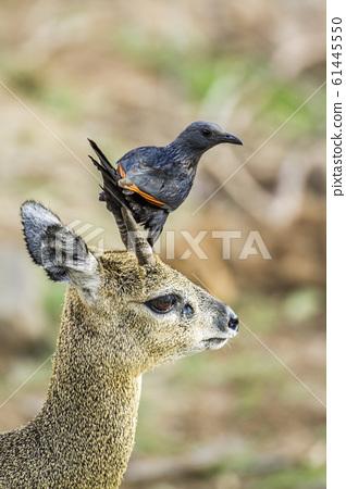 Red winged Starling and klipspringer in Kruger 61445550