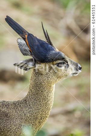 Red winged Starling and klipspringer in Kruger 61445551