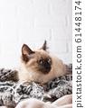 Little funny kitten on knitted plaid 61448174