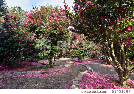 Camellia, Hueari Natural Life Park, Seogwipo City, Jeju Island, South Korea 61451297