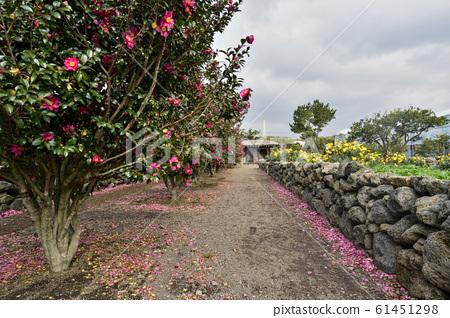 Camellia, Hueari Natural Life Park, Seogwipo City, Jeju Island, South Korea 61451298