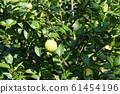 檸檬檸檬水果 61454196