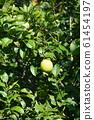 檸檬檸檬水果 61454197