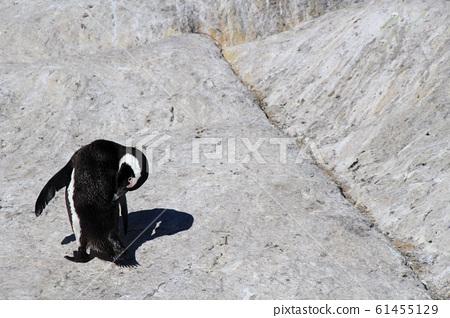 남아공 볼더스비치 바닷물에서 헤엄치다 바위 위로 올라온 자카스펭귄이 깃털을 다듬고 있다 61455129