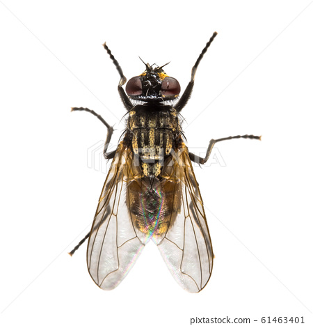 House fly on white background 61463401