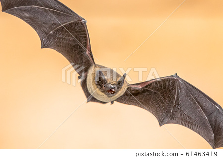 Flying Pipistrelle bat on brown background 61463419