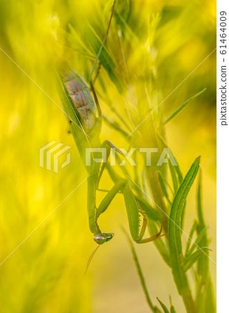 Mantis ambush predator 61464009