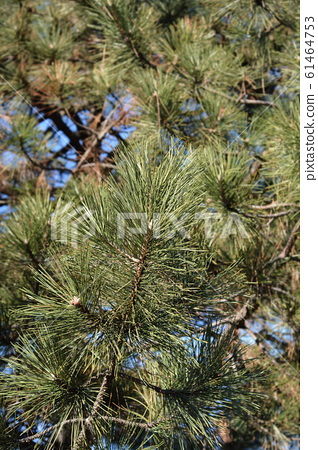 Black pine 61464753