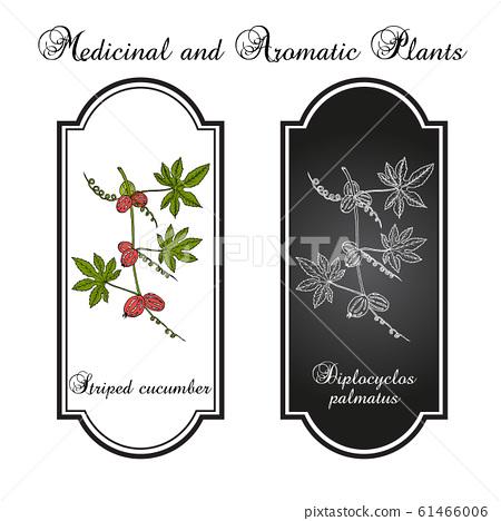 Striped cucumber or native bryony diplocyclos palmatus , medicinal plant 61466006