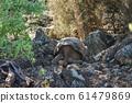 加拉帕戈斯巨龜 61479869