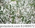 Bamboo field snow scene 61489072