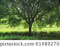 Tea plantation trees 61489270