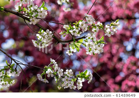 white apple blossom on the pink background 61489649