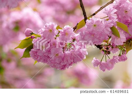 sakura blossom in the garden 61489681