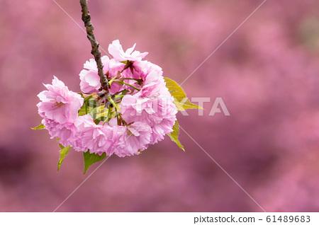 sakura blossom in the garden 61489683