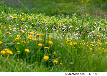 dandelions and other weeds among the grass 61489686