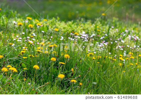dandelions and other weeds among the grass 61489688