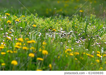 dandelions and other weeds among the grass 61489690