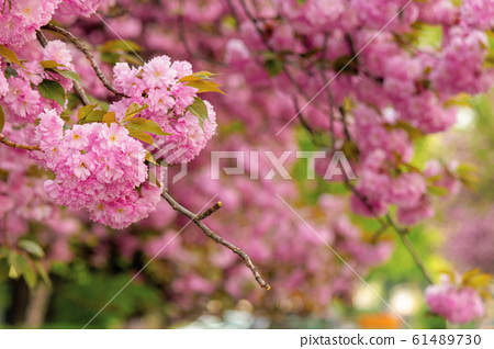 cherry blossom in the garden 61489730