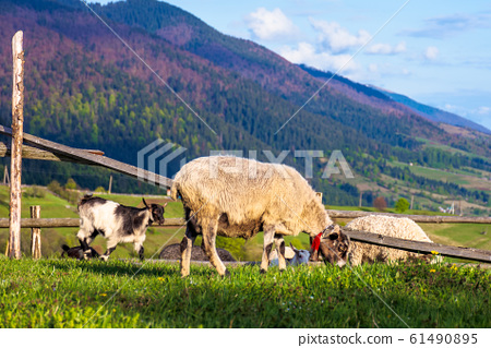 herd of goats on the alpine meadow in spring 61490895