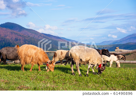 herd of goats on the alpine meadow in spring 61490896