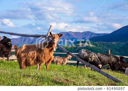 herd of goats on the alpine meadow in spring 61490897