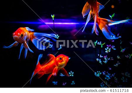 金魚 61511718