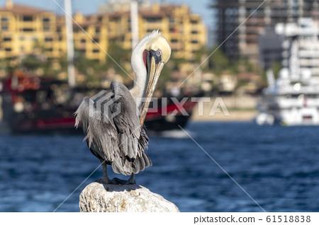 pelican in cabo san lucas mexico 61518838
