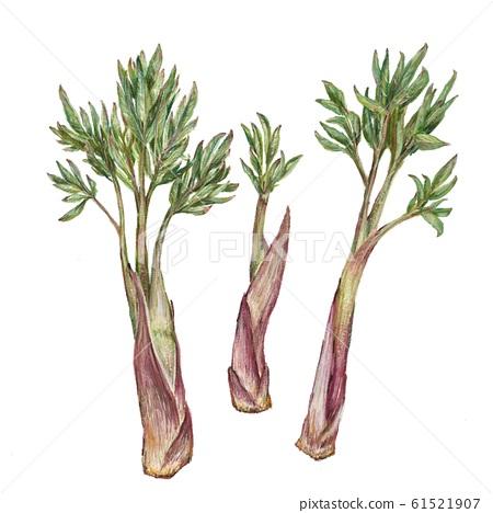 Udo(野菜) 61521907