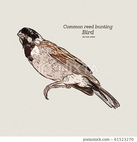 The common reed bunting Bird, hand draw sketch 61523270