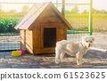 Beautiful white pooch dog near the booth on a sunny day. House for an animal. Selective focus 61523625