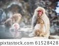 Snow monkey at hot spring, Yamanouchi 61528428