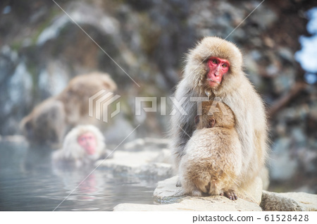 Snow monkey at hot spring, Yamanouchi 61528428