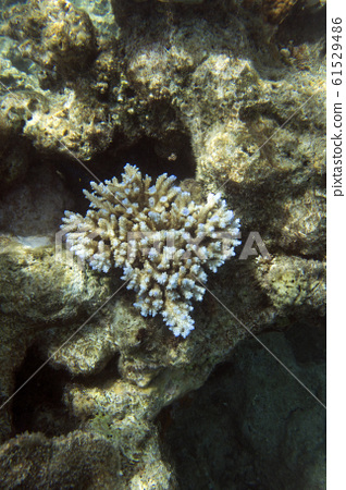 An acropora coral in New Caledonia 61529486